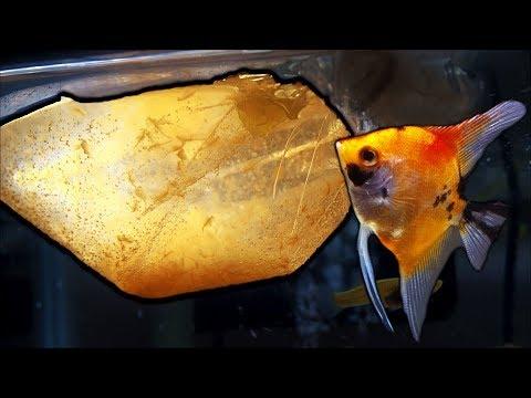 Feeding my angelfish live brine shrimp and adding new catfish to my 75 gallon tank.
