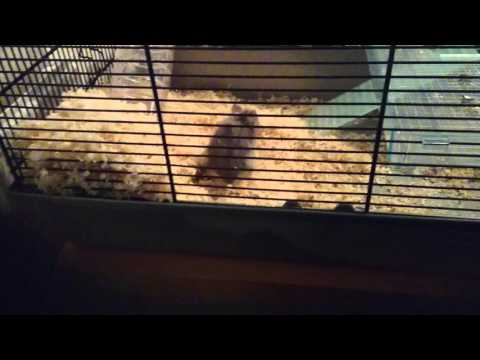 The Hamster that won't keep still