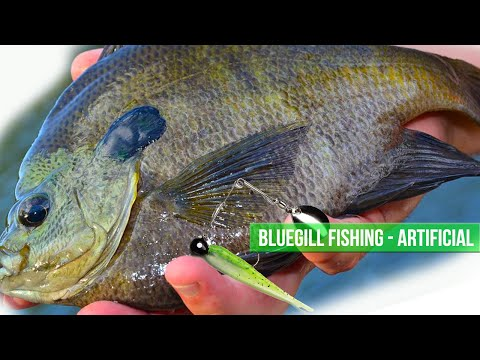 Catching Bluegill  with Artificial - Kayak Fishing