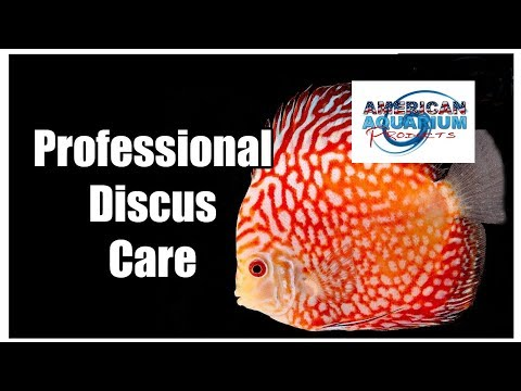 Discus Fish Care Tips- How Many Discus Water Changes!?