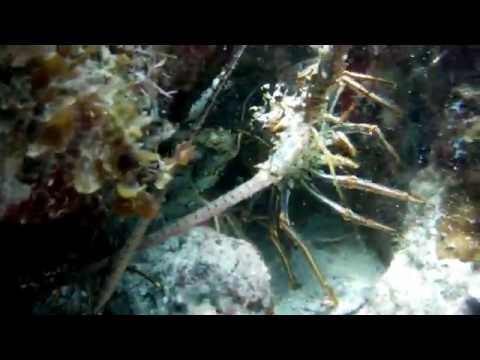 Florida keys mini-season coral packed with lobster