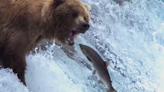 Grizzly Bears Catching Salmon | Nature