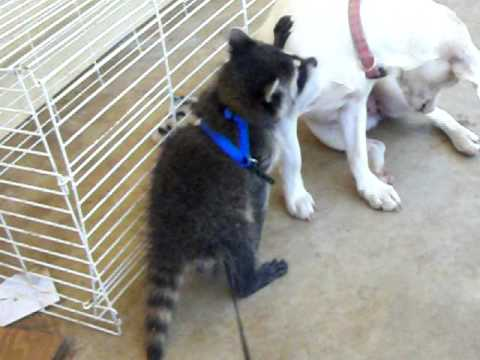 Baby Raccoon Playing with Dog