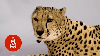 The African Cheetah Sprints for Survival