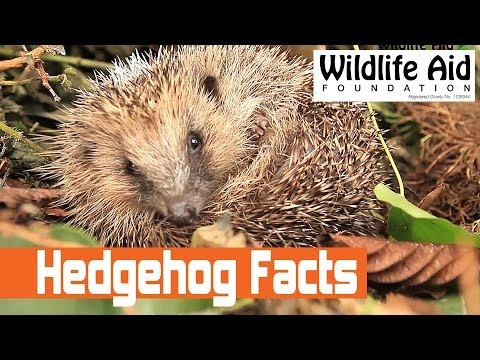 Facts about the European Hedgehog