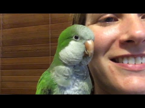 Chat time - Owning Pluto the Talking Quaker Parrot