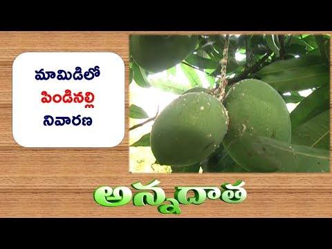 Mealy Bug Damage in Mango || ETV Annadata