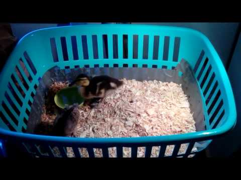 24. Baby Critters in their Temporary Enclosure