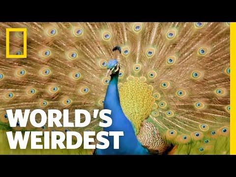 Peacock Courtship | World's Weirdest
