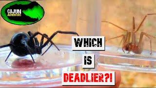 Download Black Widow VS Brown Recluse! - Which is Deadlier? Video