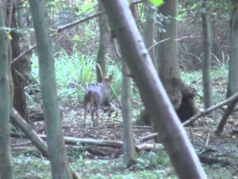 calling muntjac deer 2.mov