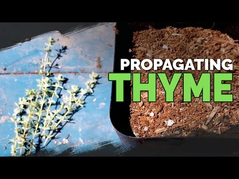 Propagating Thyme: My Dirt-Simple Method For Success