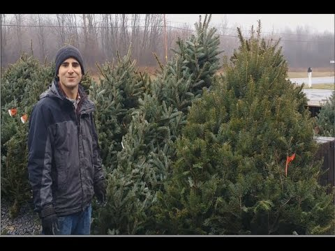 How to Pick The Best 'Real Christmas Tree'