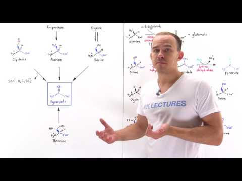 Metabolism of Amino Acids to Pyruvate