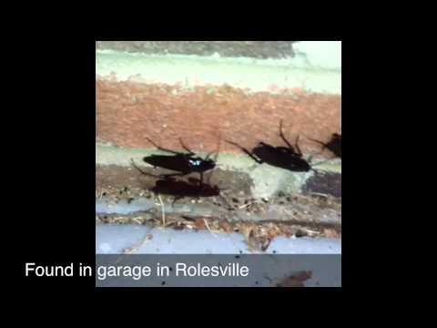 Smoky Brown Wood Roach