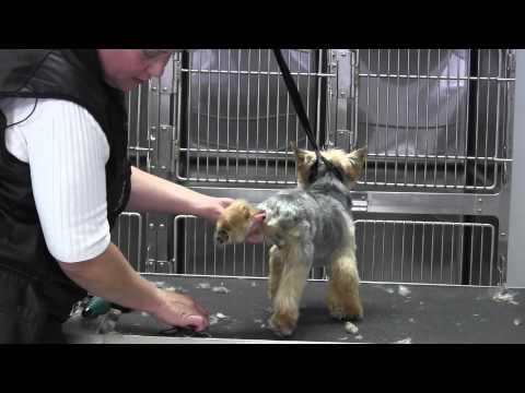 Yorkie Short Pet Trim- Legs- Rear Feet