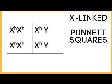 X - linked traits ( Punnett Square basics )