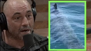 Joe Rogan Reacts to Sighting of a 25 foot Great White Shark!!