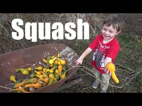 EPIC Squash Harvest - A TON of Squash!!!