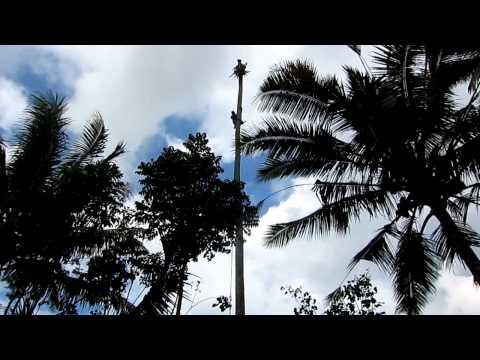 Man Cutting down a coconut tree in Bali