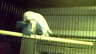 Breeding Pair Of Love Birds.