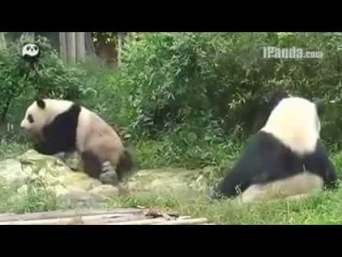 cute panda is sneezing !!! funny