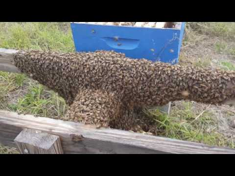 Haines City Bee Swarm removal