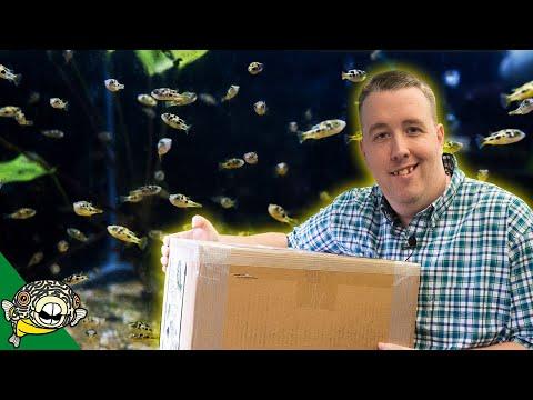 UNBOXING NEW FISH - 350 PEA PUFFERS, GIANT CLOWN LOACH, HUGE ORANDA GOLDFISH