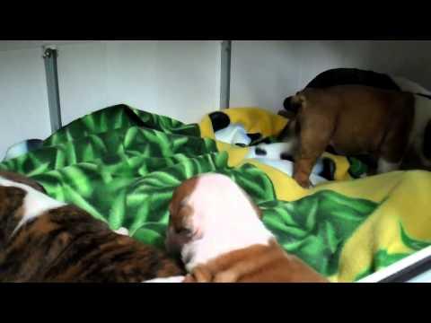 How to build English bulldog puppy incubators