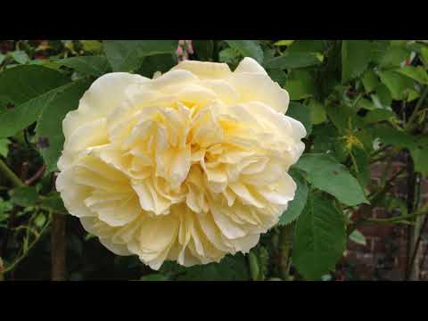 The Beauty of Growing Roses