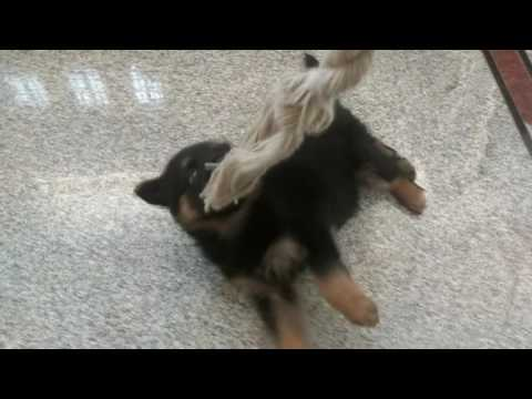 GERMAN SHEPHERD LEARNING TO PLAY TUG OF WAR
