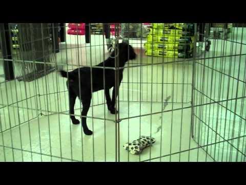 Meet Anthony a Retriever, Labrador currently available for adoption at Petango.com! 3/3/2011 10:20:5