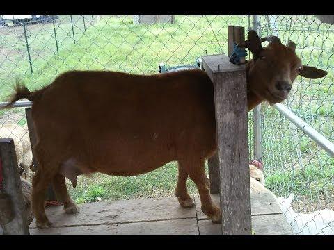 Goat milking Movie