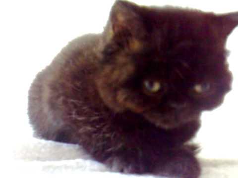 little persian girl. flat face