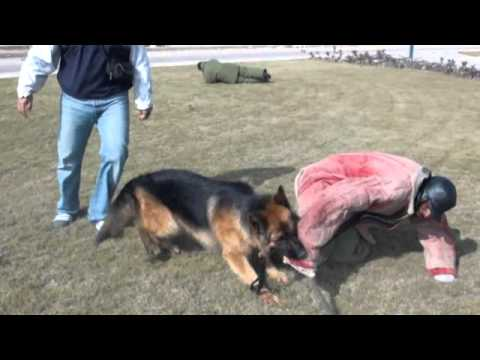 German shepherd defends owner against multiple attacks (Protection Training)