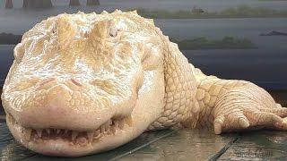 #x202b;تعرف على التمساح الابيض الوحيد في العالم#x202c;lrm;
