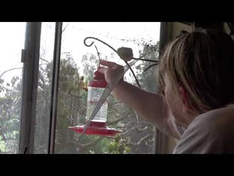 Tame Mom Hummingbird on NEST on Kitchen Window with her Own FEEDER