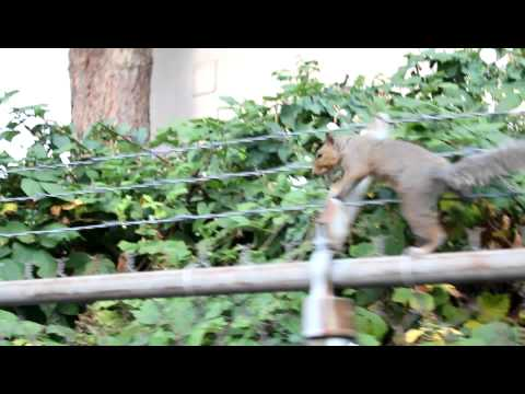 Ninja Squirrel On A Barbed Wire Fence