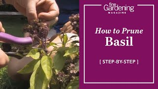 Basil Plant And Prune