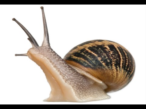How to Care for Garden Snails - Pet Snail
