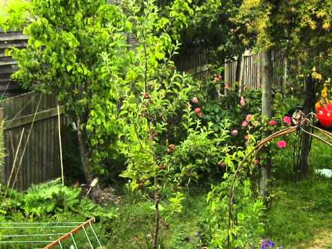 Apple tree - from flowers to fruit