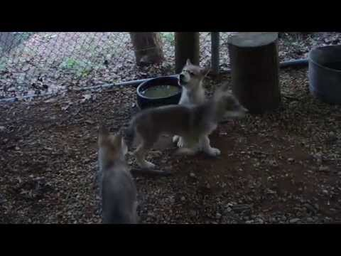 Wolf puppies join in howling with the Pack