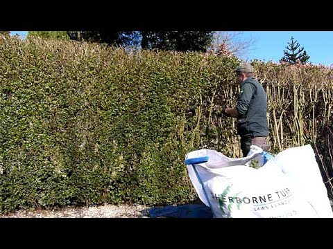 Privet Hedge Renovation