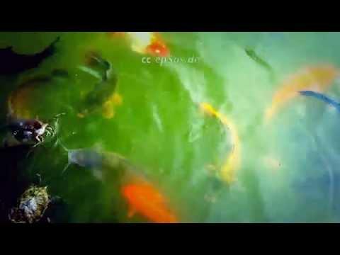 Fun Swan Fish Turtle Feeding in One