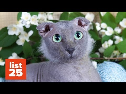 25 Most BIZARRE Cat Breeds Ever