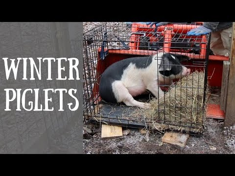 Getting Winter Piglets|Building a SmokeHouse