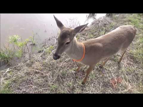 walking the deer