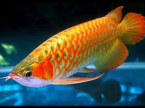 Facts About Arowana Fish