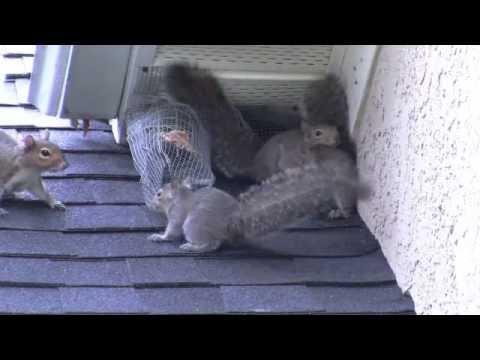 Attic kings remove squirrels in Atlanta Ga