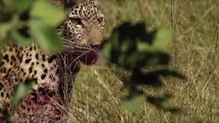 Young Leopard makes first Big Kill   BBC Earth